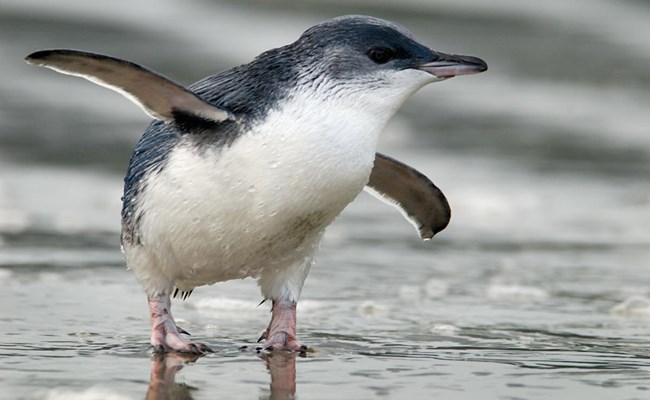 kororā (Little Blue Penguin)